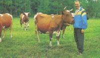 Пасущиеся коровы